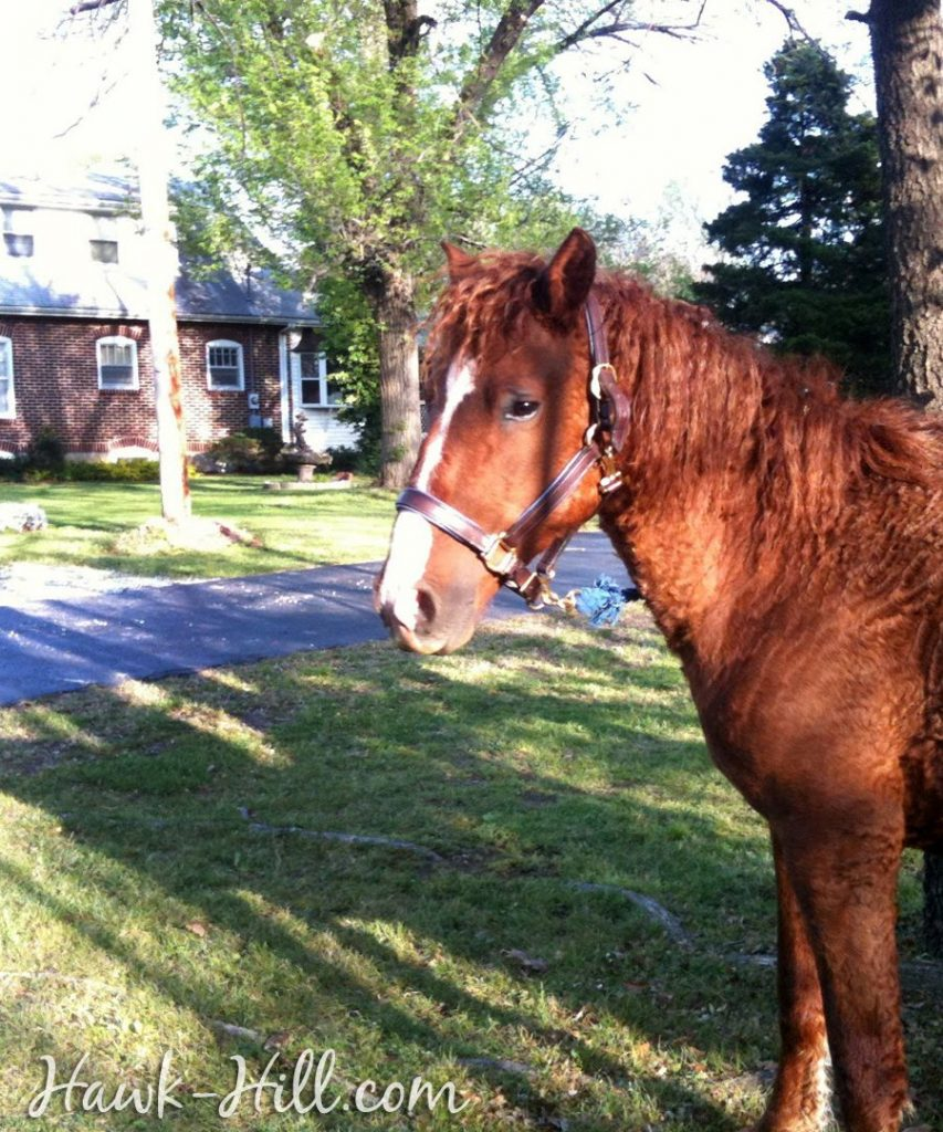 chestnut mare in front of hawk hill house