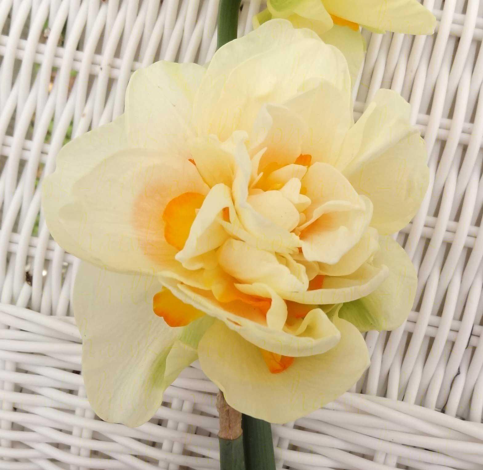 Tahiti Daffodil on a white wicker backdrop.
