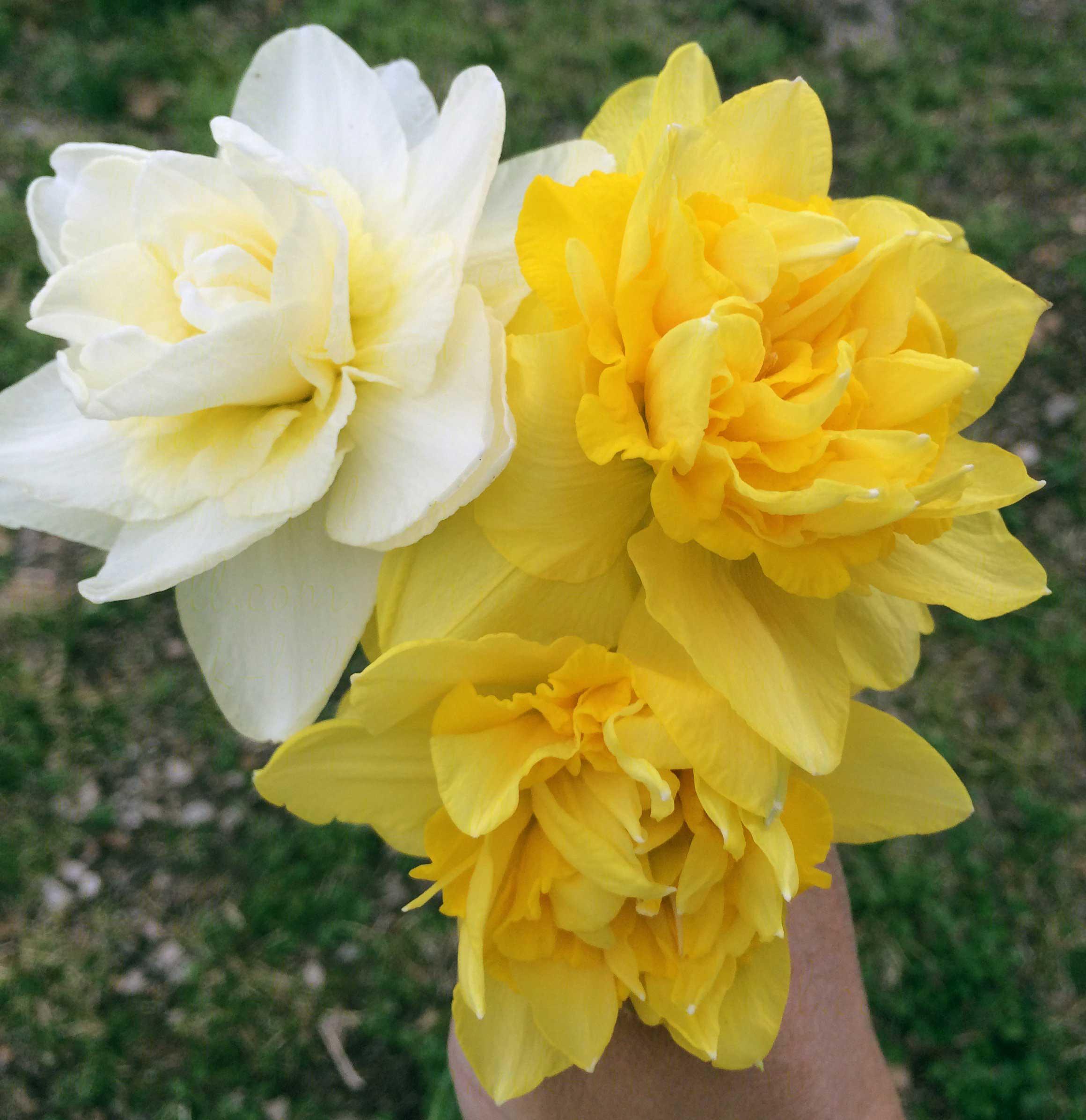 Hybrid Kitchen Daffodil Season In The Ozarks Hawk Hill
