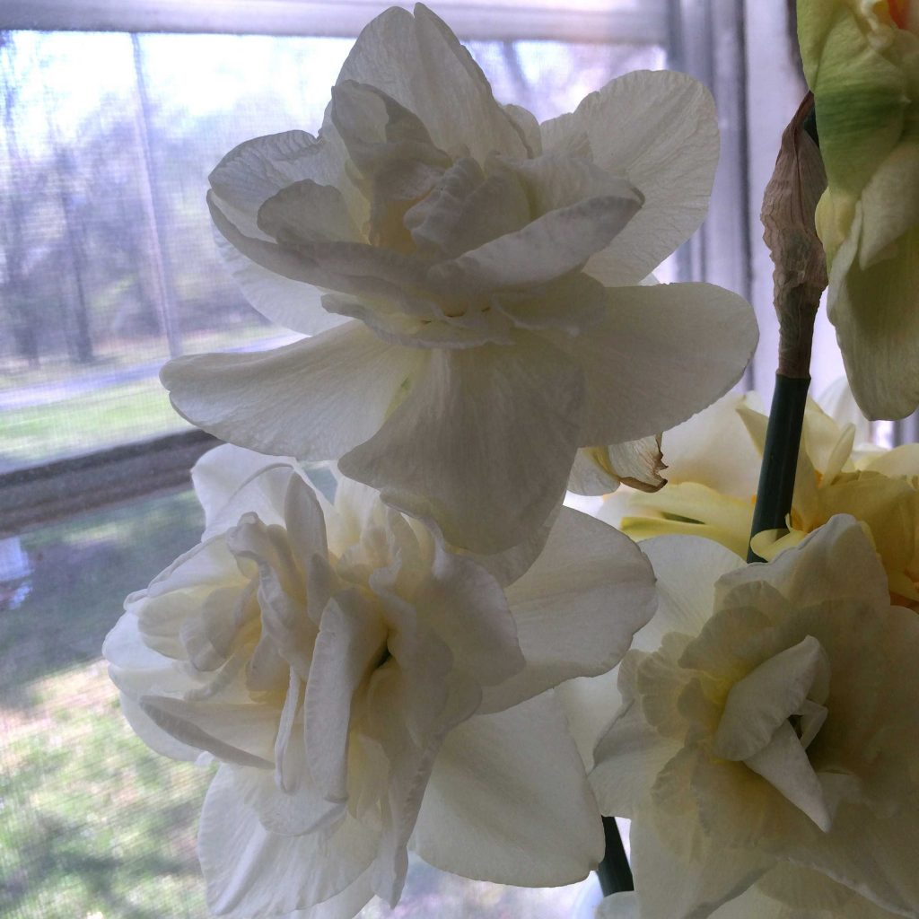 White double daffodils in a bouquet of cut flowers.