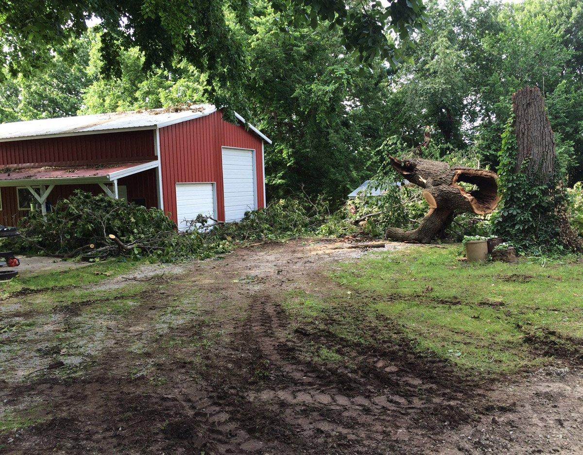 fallen century oak cleanup