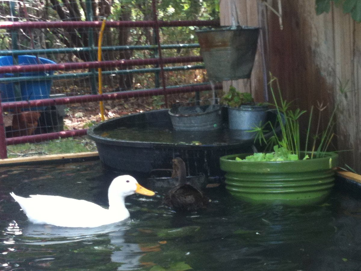 How to build a no dig backyard pond for under 70 hawk hill for Backyard duck pond