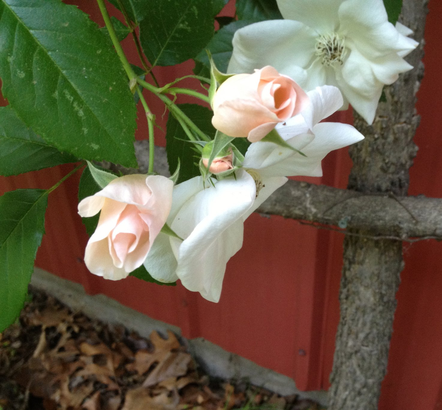 Roses growing on trellis made from chopped wood