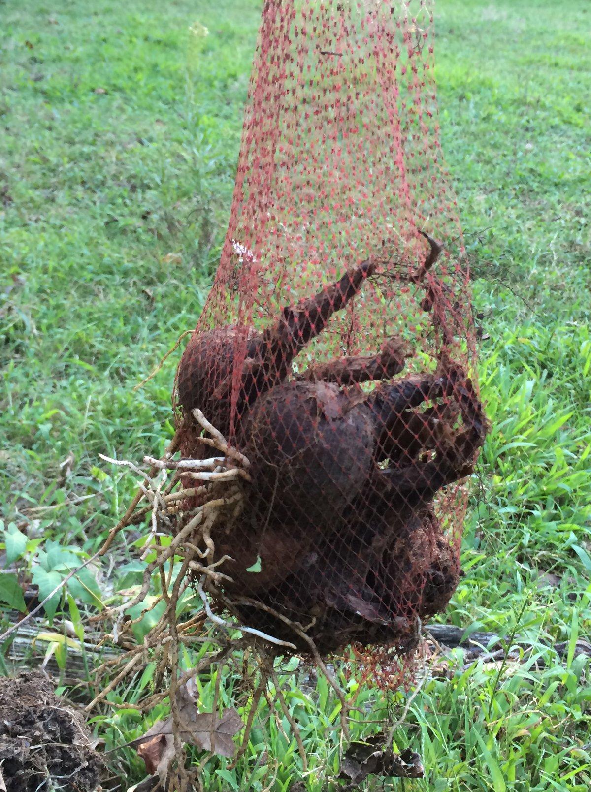 Daffodil bulbs in a mesh planting bag.