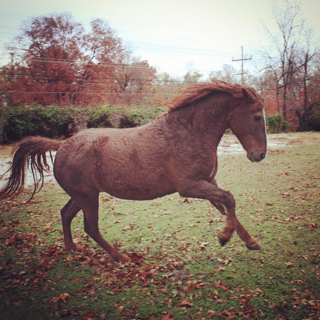 chestnut curly mare action shot