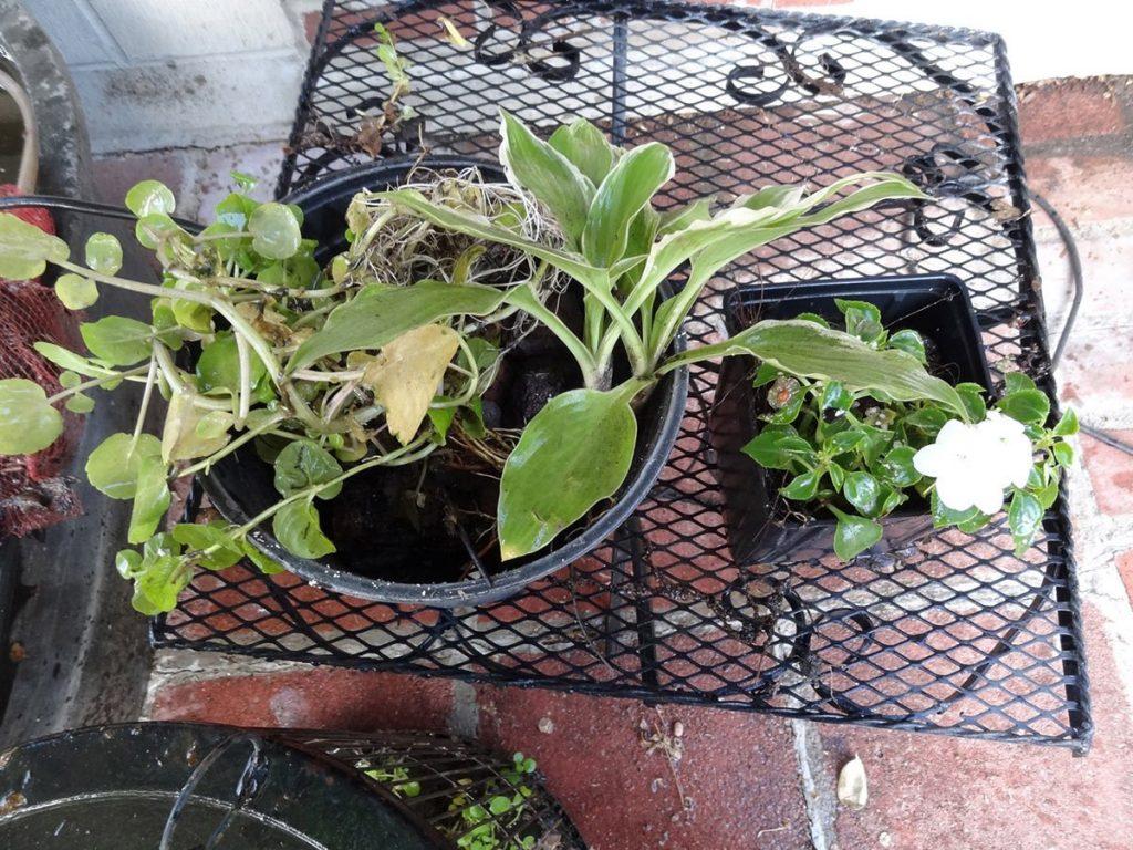 Cheap pond plants - hostas, impatiens, creeping jenny, and more