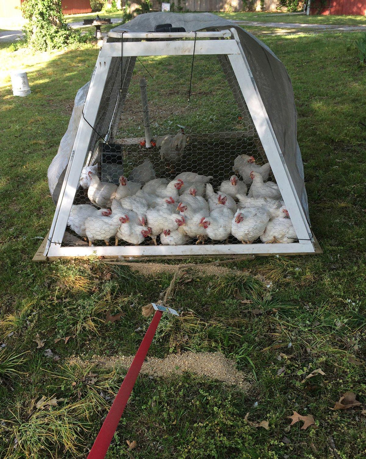 hawk hill u0027s collapsible chicken tractor panels hawk hill