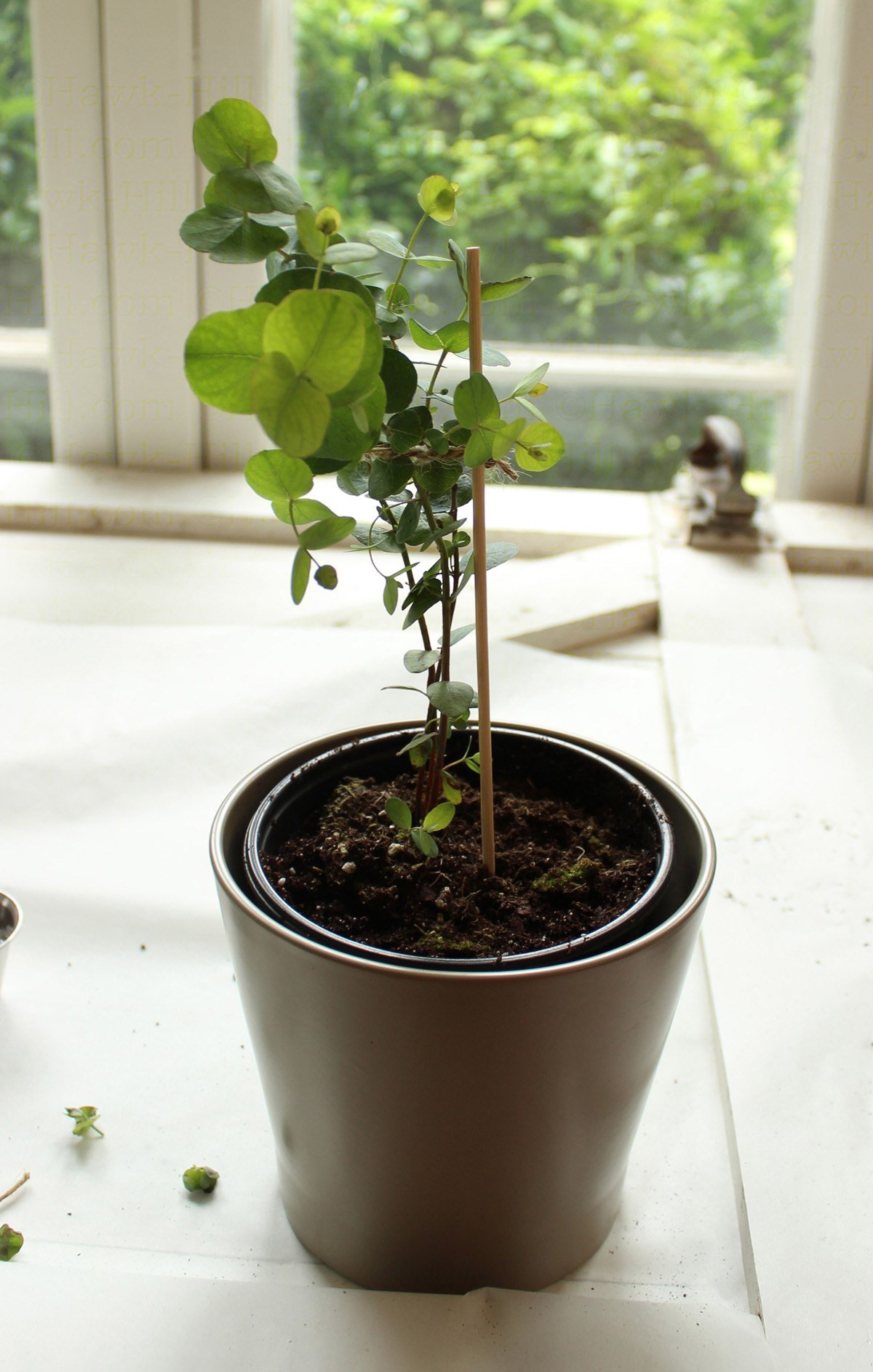 Re Potting A Eucalyptus Houseplant Amp Tips To Reduce