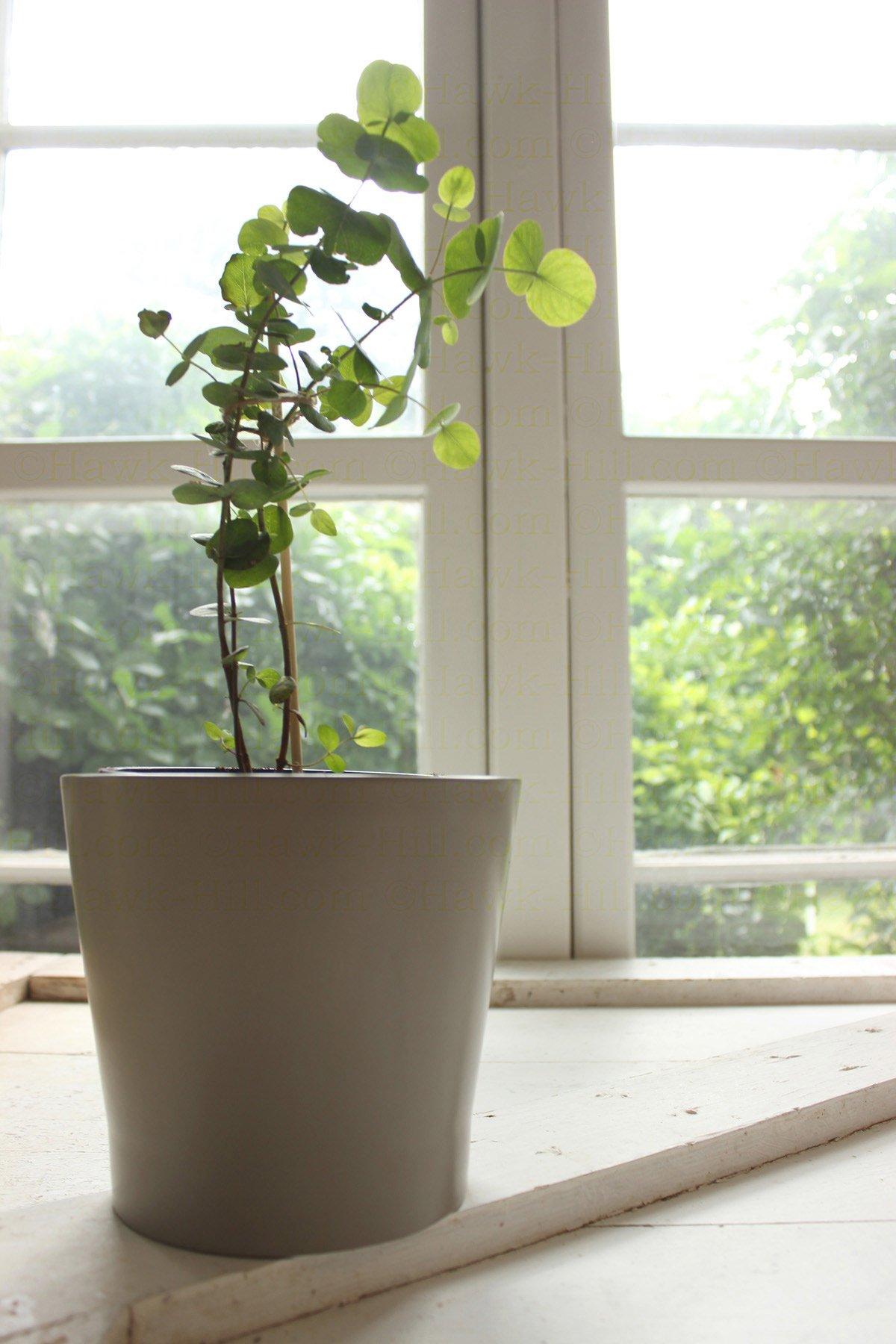 Re Potting A Eucalyptus Houseplant Amp Tips To Reduce