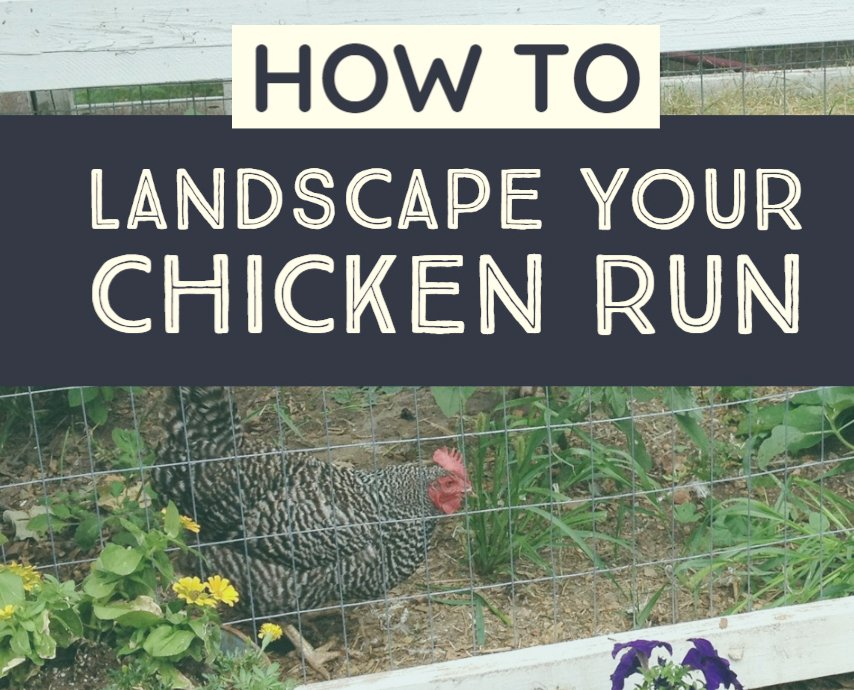 how to keep a chicken coop run green with chicken-friendly plants