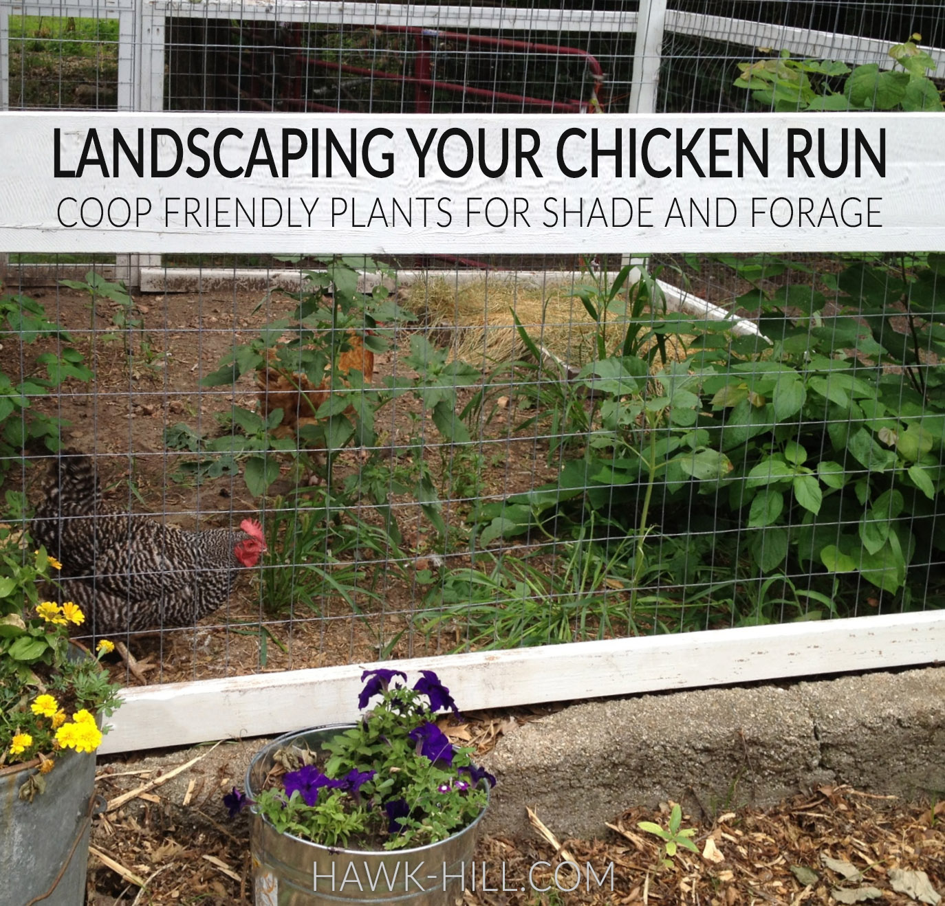 choosing tough plants for your chicken coop's run helps provide chickens with forage and shelter from heat and predators
