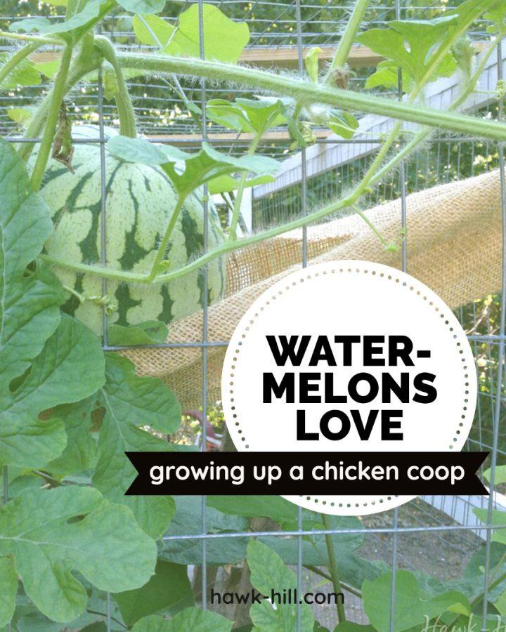 growing watermelons in a chicken coop