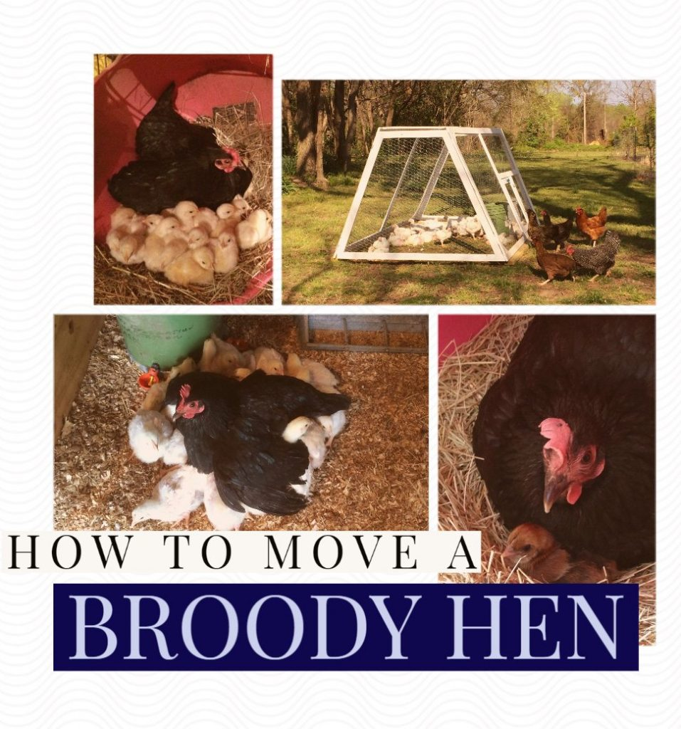 6 Tips to Move a Broody Hen without Disrupting her Brooding