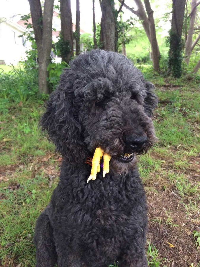 Chicken feet make safe raw-food treats for dogs, if you don't use them for culinary purposes