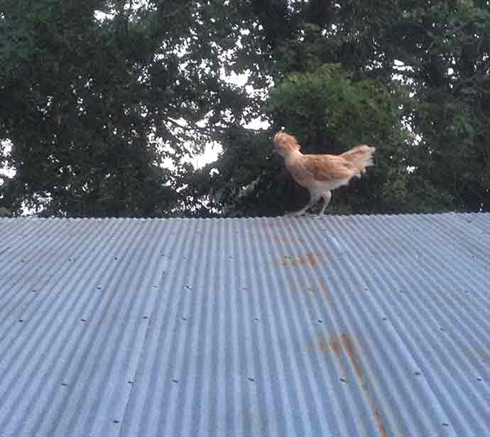 An adolescent chicken demonstrating rooster tendencies