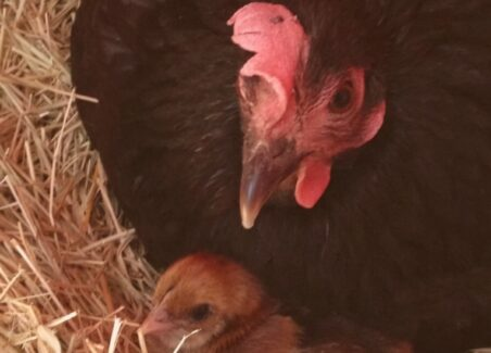 how to get a broody hen to adopt hatchery chicks