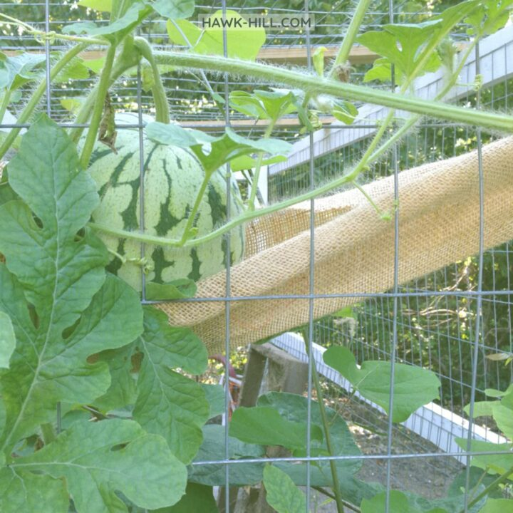 growing watermelons on a chicken coop run increases summer shade for the chickens and frees up valuable garden space for other plants.