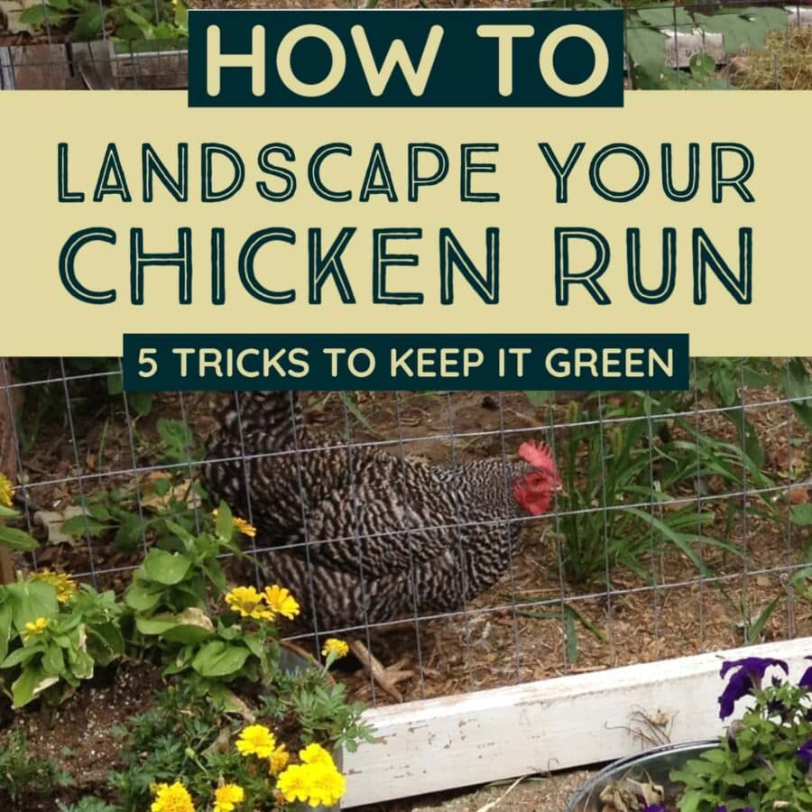 A chicken in a green and lush chicken run