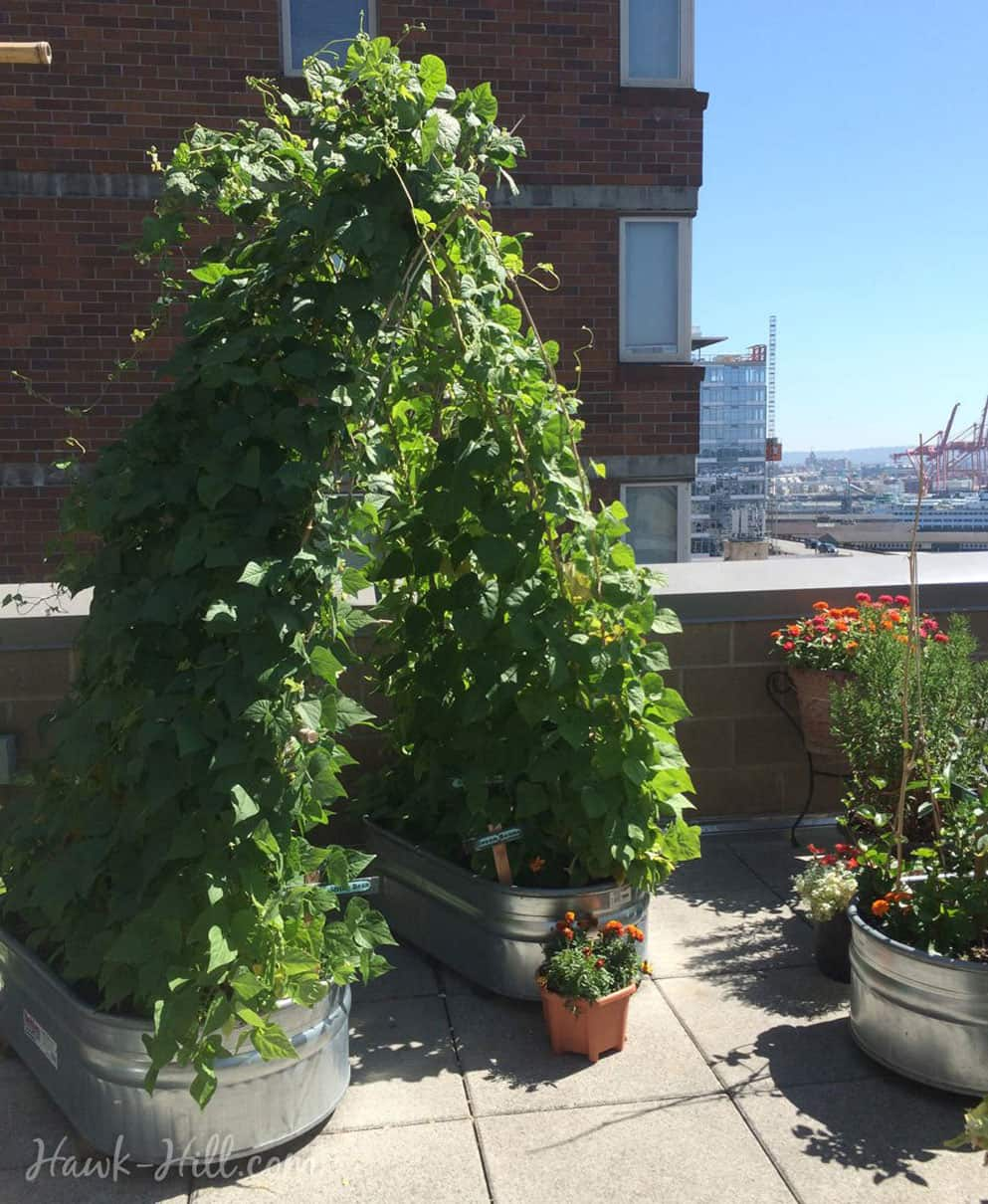 Green bean plants in large containers growing up and over a trellis to form an arched tunnel.