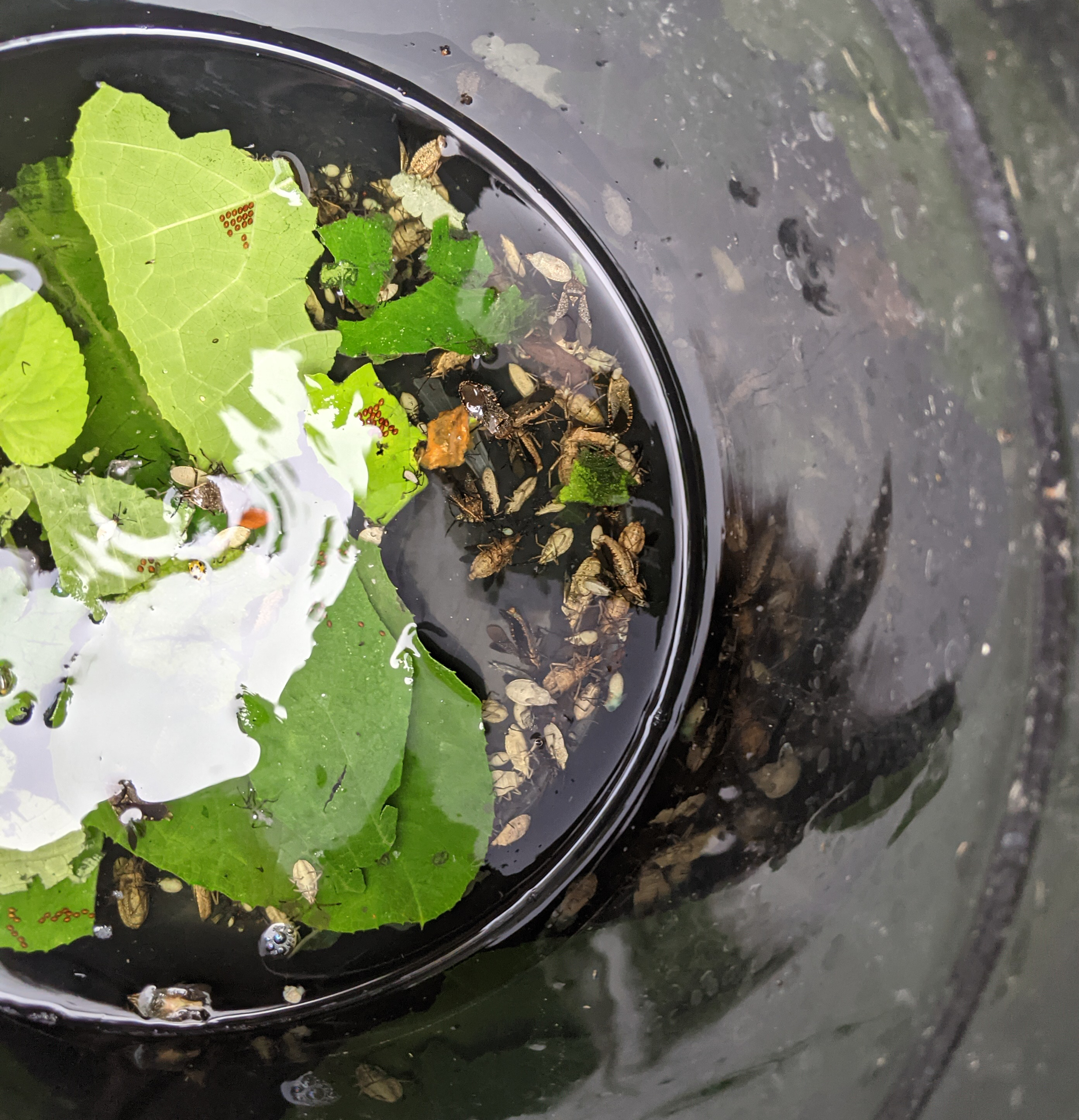 Killing squash bugs with soapy water is an old organic gardening trick- this squash bug control method takes it a step farther.