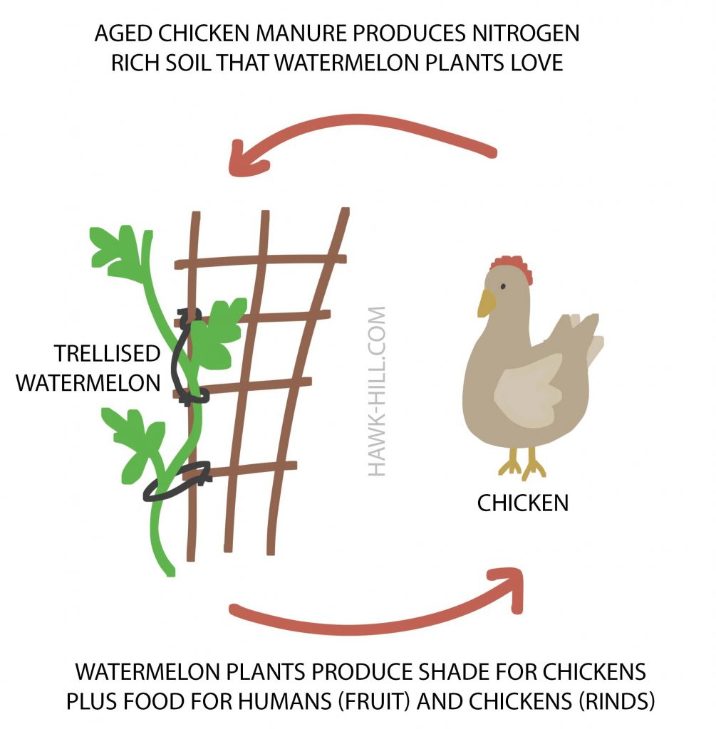 Learn about how chickens and trellised watermelons can be a mutually beneficial garden practice