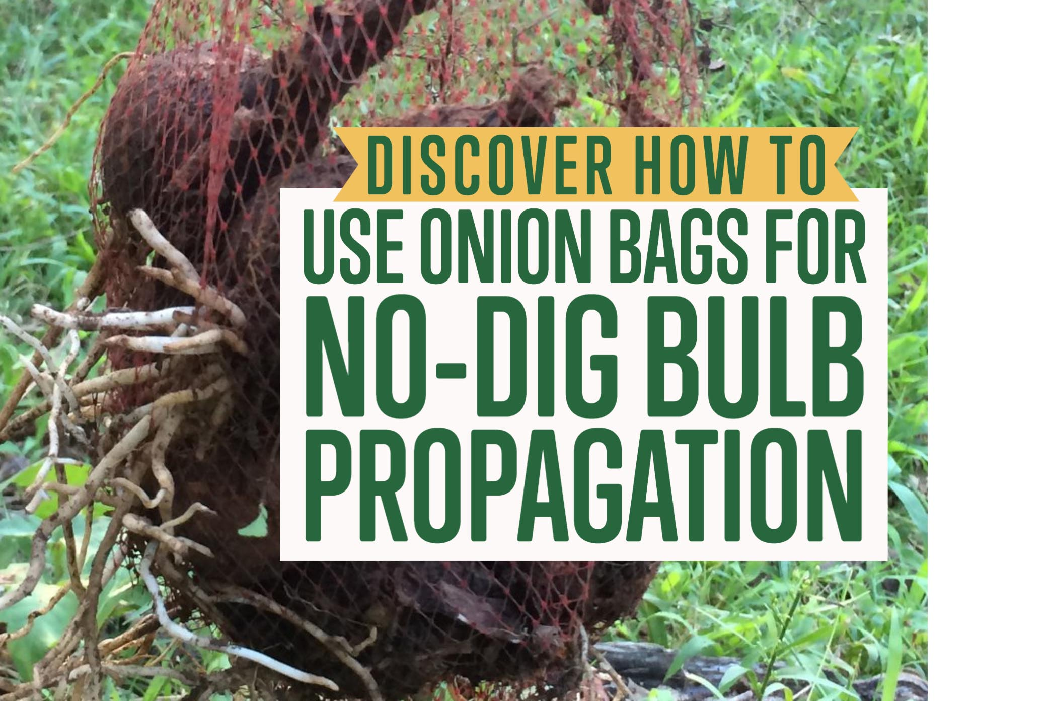 a photo of daffodil bulbs in propagation and planting bags.