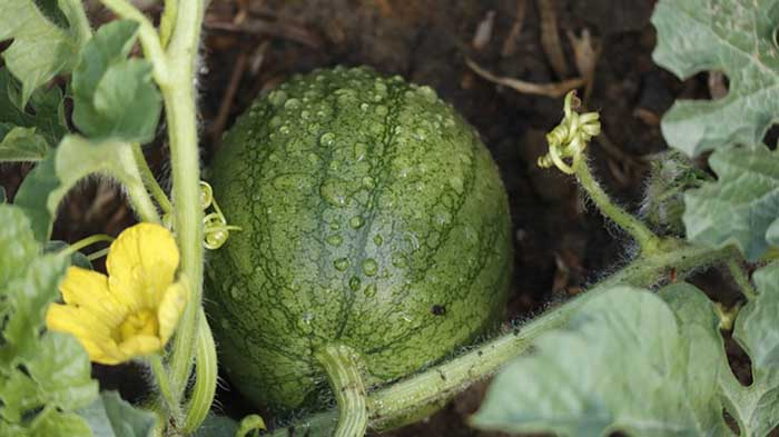 How to grow watermelons vertically on a trellis or chicken coop